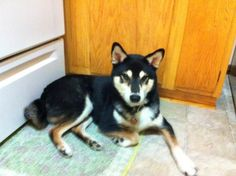 Wow, this looks like a shiba inu mix! That's really rare, to just have one randomly in Minnesota... i love this dog!!!