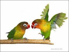 watercolor lovebirds