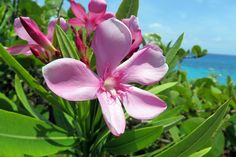 Oleanders, grow everywhere in Bermuda Kings Wharf Bermuda, Bermuda Island, Bermuda Travel, Power Photos, Great Memories, Beautiful Islands, Staycation, Color Tattoo, Flower Power