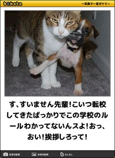 Pretty Cats, Cute Cats, Funny Puns, Hilarious, Japanese Funny, Smiles And Laughs, Funny Moments, Funny Photos, Cat Lovers