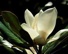 Minden, amit a magnóliáról tudni kell, ha szeretnél egyet a kertedbe ebből a gyönyörű növényből...