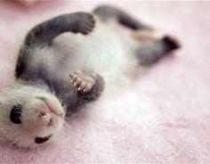 panda Archives ⋆ Baby Animalz