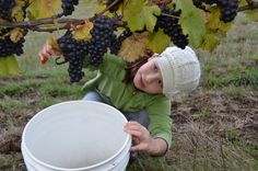 Harvesting buckets of Pinot Noir.  Oregon Wine Country.