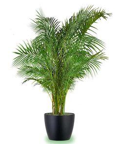 Palma Areca La Es Comúnmente Conocida Por Su Uso En Interiores Fácil Large Indoor