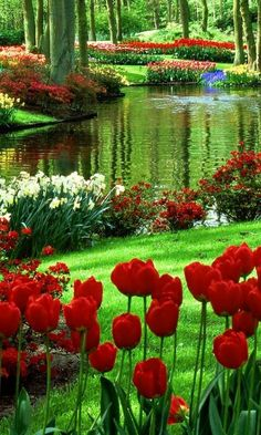 green and water beaneath the trees. Daffodils and tulips carpet Chrysanthemu Red green and water beaneath the trees. Daffodils and tulips carpet Chrysanthemu. -Red green and water beaneath the trees. Daffodils and tulips carpet Chrysanthemu. Beautiful Landscapes, Beautiful Gardens, Beautiful Flowers, Beautiful Places, Beautiful Pictures, Beautiful Scenery, Simply Beautiful, Amazing Places, Nature Wallpaper
