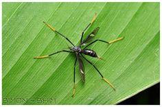Cranefly  Pic taken in Malaysia - Sabah  Photograph courtesy of Simon Shim