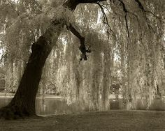 """ Weeping Willow""         Looking out seeing nothing but a lonely tree,   Wondering why we call it a Weeping Willow.   Seeing the branches hanging down,   So beautiful and graceful.   Sitting under the Weeping Willow,   With my thoughts at mind.   Missing you so dearly,   I ask the Weeping Willow,   Why do you weep?       You reply with graceful words,   I weep for the weak and for the lonely souls,   I weep for the old and young.   I weep for those who do not understand,   Why it had to be…"