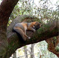 sleepy grey fox