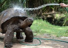 Wilbert the 100 year old giant tortoise gets a hosing down to cool off at Melbourne Zoo