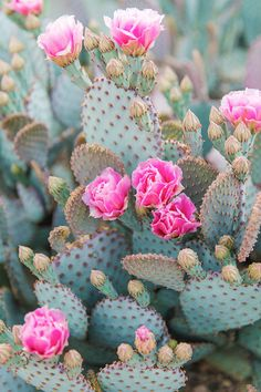Arizona Prickly Pear Cactus with Flower Blooms Desert Aesthetic, Flower Aesthetic, Cacti And Succulents, Cactus Plants, Cactus With Flowers, Exotic Flowers, Cactus Backgrounds, Cactus Photography, Desert Photography
