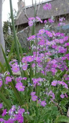 Primulas in full blooming glory Bloom, Gardens, Plants, Planters, Tuin, Plant, Garden, Planting, Formal Gardens