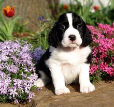 Adorable black/white Springer Spaniel pup . . .