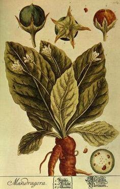 The Magic History of Mandrake