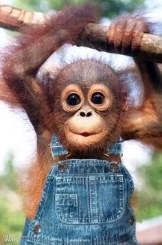 No other primate looks at you the way how an orang utan does.oh so cute! =) You can see it at Sepilok Orang Utan Rehabilitation Centre, Sandakan, Sabah, Malaysia. Funny Babies, Cute Babies, Baby Orangutan, Cute Little Animals, Adorable Baby Animals, Cutest Animals, Tier Fotos, Animal Faces, Cute Creatures
