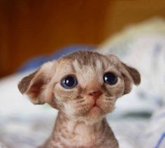 The cutest devon rex kitten ever! Animals And Pets, Baby Animals, Funny Animals, Cute Animals, I Love Cats, Crazy Cats, Cute Cats, Devon Rex Kittens, Cats And Kittens