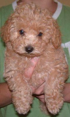 I want a poodle!!