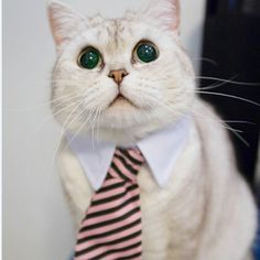Business time!! Let your cat show the world who truly is boss with this hilarious collar and tie combo.Beware, after placing this on your cat he may insist you take down his memos and field his calls.               Please note, as this item is shipped from an international location, shipping times are typically 15 days after fulfilment.
