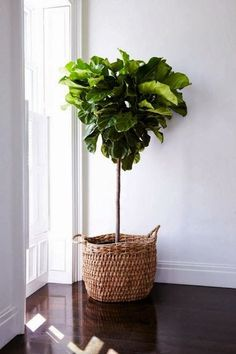 Fiddle Leaf Fig Tree Standard (Ficus lyrata) (Size: to Tall) Interior Plants, Interior And Exterior, Tree Interior, Interior Rendering, Kitchen Interior, Kitchen Design, Plantas Indoor, Fiddle Leaf Fig Tree, Fiddle Fig
