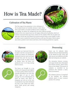 How is Tea Made? The Processing and Production of True Teas - Cup & Leaf tea #tea #teainfographic #infographic #teahistory
