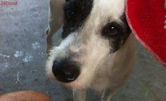 Família procura cão branco com manchas pretas desaparecido próximo ao Acqua Pay, em Santos