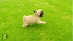Ces carlins coureurs. | Les 50 meilleurs GIFs de chiens de tous les temps