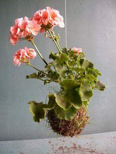 geranium = LADYBUG FOOD