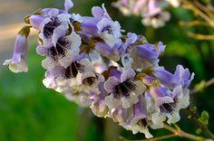 Paulownia elongata - flower detail