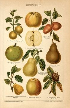 "1894 FRUITS APPLE PEAR QUINCE Antique Chromolithograph Print.  Original old German colour chromolithograph print/book plate(not a modern reproduction)comes from a German lexicon.     The print has been printed by Bibliographisches Institut Leipzig,Germany in 1894.     Very decorative.It looks great when framed.     The overall size of this print with margins approx 9 3/4"" x 6 1/2"".  Sold $15.50"