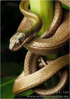 The Black-headed Cat Snake is. The Black-headed Cat Snake is… Boiga nigriceps. The Black-headed Cat Snake is… - Alligators, Crocodiles, Les Reptiles, Reptiles And Amphibians, Beautiful Creatures, Animals Beautiful, Cute Animals, Anaconda, All About Snakes