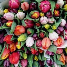 tulips, Utrecht, NL