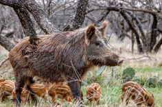 Miss piggy really made pigs of herself. #hogwild #feralpig #hog #invasive #invasivespecies #texas #hunting #ronspomeroutdoors