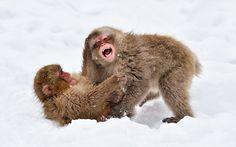 Captivating Moments of Snow Monkeys Bathing in Hot Springs - My Modern Metropolis
