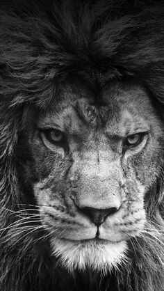"janetmillslove: "" Wise lion in bw ✿⊱╮ moment love """