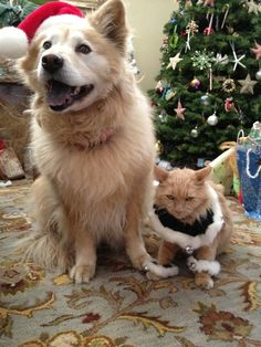 Cats are the most common house pets, they are very funny and cute creatures. If you own a cat at your house it will be so hard to feel lonely, cats are Vida Animal, Mundo Animal, Animals And Pets, Funny Animals, Cute Animals, Scary Animals, Christmas Animals, Christmas Cats, Merry Christmas