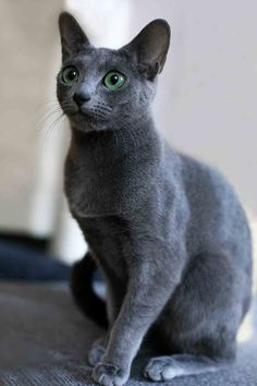 What is your favorite breed of cat? - NeoGAF