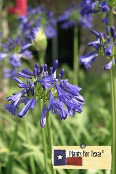 Agapanthus : Lily of the Nile Ellamae. Plant for Texas. flower stalks are 3-5 ft. stalks. Weeping leaf habit. Attracts bees, butterflies and hummingbirds.  Loves full sun to partial sun