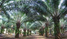 Perawatan kepala sawit merupakan salah satu tujuan utama dari membudidayakan kelapa sawit adalah untuk bisa mendapatkan buah