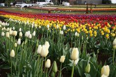 Tesselaar Tulip Festival (Sep 12 - Oct 8) :: Dandenong Ranges, Victoria, Australia