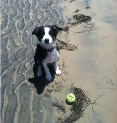 Border Collie, beach and tennis ball... Does life get any better than this?