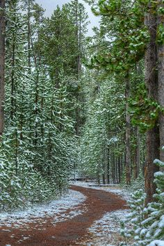 A walk among the snowy pines {Mountain Trail - Yellowstone}