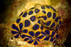 blue ringed octopus - Αναζήτηση Google