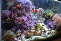 Saltwater Fish: Marine Aquarium Fish for Saltwater Home Aquariums