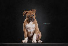America staffordshire puppy by Monica van der Maden on 500px