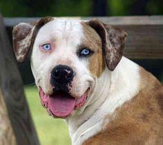 catahoula-bulldog-0015.jpg