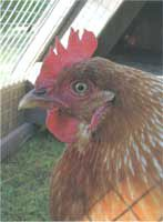 A detailed guide for backyard beginners on how to raise chickens, includes information onn types of chickens to buy, chicken feed and setting up a dust bath for chickens.data-pin-do=