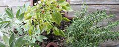 O que são plantas companheiras e antagônicas? - Hoje vamos falar sobre plantas companheiras e antagônicas. Este é um tema pouco conhecido por boa parte dos hortelões iniciantes, mas o seu conhecimento é milenar e é utilizado desde a Antiguidade pelos agricultores.  Plantas companheiras…  Basicamente, são aquelas se ajudam ao serem plantad... - http://www.ecoadubo.blog.br/ecoblog/2014/11/25/o-que-sao-plantas-companheiras-e-antagonicas/