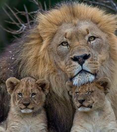 O leão não hesita em caçar a prole em crescimento