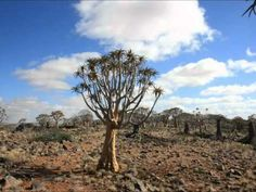 A walk through the exotic quiver tree forest outside Kenhardt, Northern Cape in South Africa. Quiver, Tree Forest, August 2014, Exotic, Flowers, Florals, Flower, Blossoms