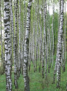 Birch trees.  Ancient Slavs worshipped trees.  They also believed the forest was full of spirits