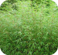 Bamboe Fargesia  Rufa 60 - 80 cm, in 2,5 liter pot